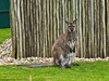 03 July 2011. Bennets Wallaby at Marwell. Copyright Peter Drury 2011