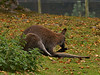 Wallaby. Copyright Peter Drury 2010<br /> Longleat Safari Park