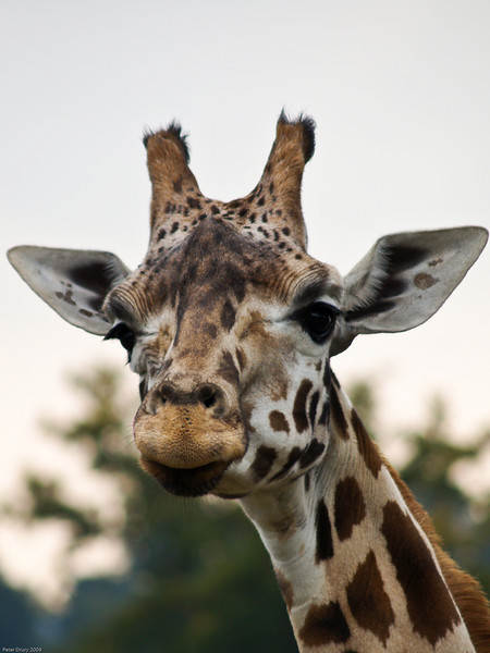 Giraffe. Copyright Peter Drury 2010<br /> Longleat Safari Park