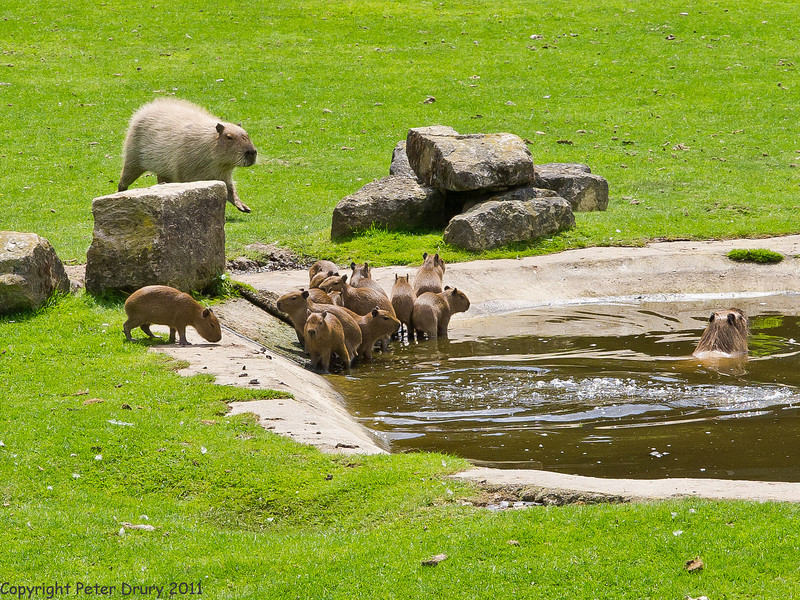 03 July 2011. Capybara at Marwell. Copyright Peter Drury 2011