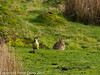 24 February 2011. Green Woodpecker and Rabbit on the marsh. Copyright Peter Drury 2011