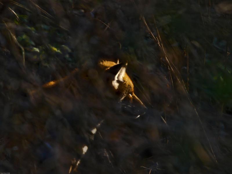 red fox (Vulpes vulpes). Copyright Peter Drury 2010