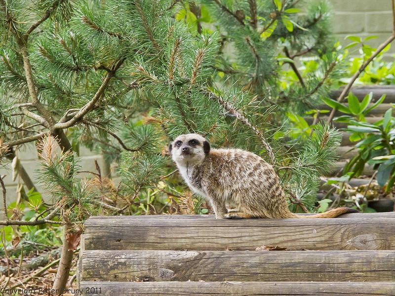 03 July 2011. Meerkat at Marwell Wildlife. Copyright Peter Drury 2011