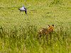 24 May 2011. Fox at the Chalk Quarry. After spending some time stalking the pigeon through the long grass - it escapes. Copyright Peter Drury 2011