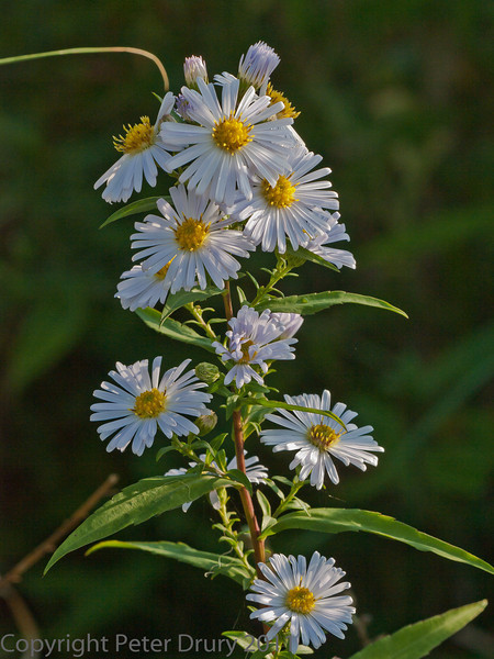 01 Oct 2011 Michaelmas Daisy (Aster sp.) at Portchester Common