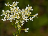 28 April 2011. Hoary Cress (Lepidium draba). Copyright Peter Drury 2011