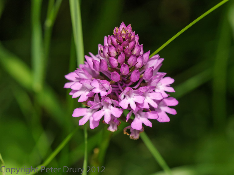 28 June 2012 Pyramid Orchid at Portchester Common.