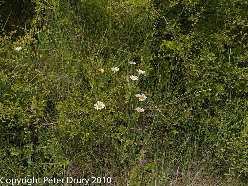 oxeye daisy (Leucanthemum vulgare). Copyright Peter Drury 2010