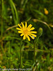 Hairy Hawkbit (Leontodon hispidus). Copyright Peter Drury 2010