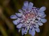 Field scabious (Knautia arvensis). Copyright 2009 Peter Drury