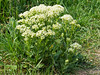 28 April 2011. Hoary Cress (Lepidium draba) at the Chalk Quarry. Copyright Peter Drury 2011