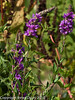 09 Aug 2010 - Purple Loosestrife (Lythrum salicaria). Copyright Peter Drury 2010