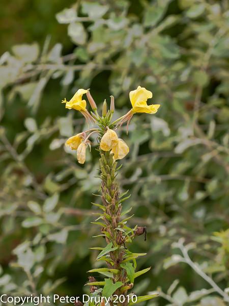 28 Aug 2010 - Evening Primrose (Oenothera sp). Copyright Peter Drury 2010