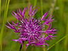 24 Jun 2011. Greater Knapweed Centaurea scabiosa) at the Chalk Quarry. Copyright Peter Drury 2011