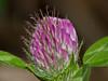 Red clover (Trifolium pratense). Copyright 2009 Peter Drury