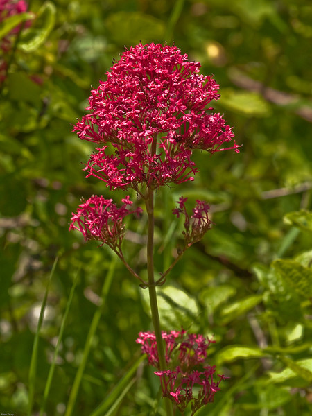 Red Valerian (Centranthus ruber ruber)<br /> True red