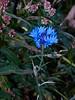 Cornflower (Centaurea cyanus). Copyright 2009 Peter Drury