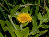 Common Fleabane (Pulicaria dysenterica). Copyright 2009 Peter Drury