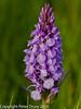 Southern Marsh Orchid (Dactylorhiza praetermissa).  Copyright Peter Drury 2010