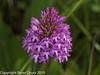 Pyramidal Orchid (Anacamptis pyramidalis). Copyright Peter Drury 2010