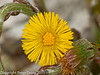 28 March 2011. Coltsfoot (Tussilago farfara) in the Chalk Quarry.  Copyright Peter Drury 2011
