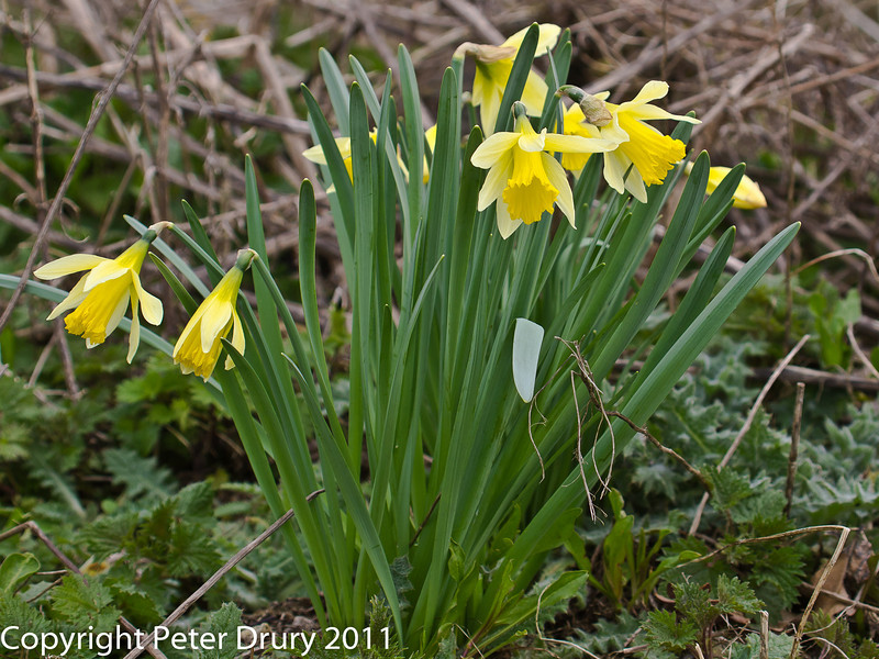 06 March 2011. Daffodils on the approach track to the Oysterbeds from the south. Copyright Peter Drury 2011