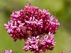 06 May 2011. Red Valerian in the Chalk Quarry. Copyright Peter Drury 2011