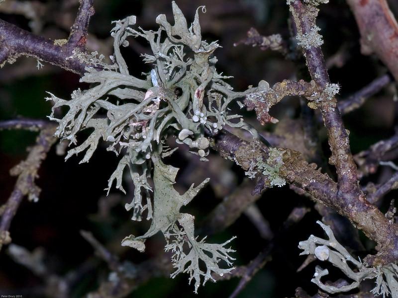 Ramalina farinacea. Copyright Peter Drury 2010<br /> A Lichen seen growing on Hawthorn