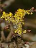 Xanthoria parietina. Copyright Peter Drury 2010<br /> Lichen seen growing on Hawthorn