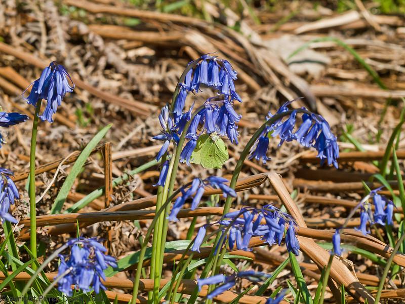 24 April 2011. Bluebells at Creech Wood. Male Brimstone feeding on nectar.  Copyright Peter Drury 2011