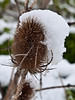 Teasel in the snow. Copyright Peter Drury 2010