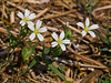 24 April 2011. Greater stitchwort (Stellaria holostea) at Creech Wood. Copyright Peter Drury 2011