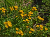 10 April 2011. Marsh Marigold at Queen Elizabeth Country Park.  Copyright Peter Drury 2011