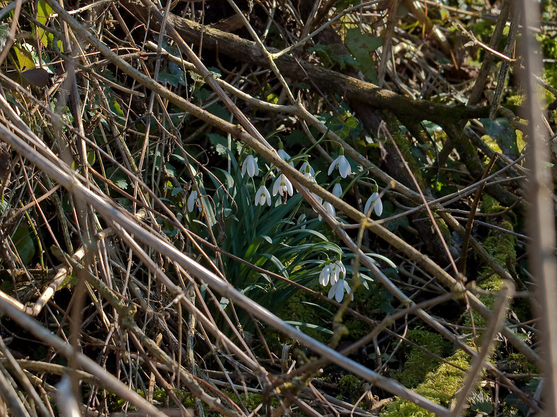 Snowdrops in the bracken litter. Copyright Peter Drury 2010<br /> The first snowdrops I have seen this year. These were in a copse under dead branches from last years plant growth.