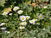 18 April 2011. Daisy (Bellis perennis) at the Oysterbeds.  Copyright Peter Drury 2011