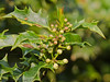 17 April 2011. Holly at Widley. Flower buds. Copyright Peter Drury 2011