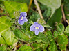 22 April 2011. Germander Speedwell (Veronica chamaedrys). Copyright Peter Drury 2011