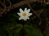 Wood anemone (Anemone nemorosa). Copyright Peter Drury 2010<br /> Early spring flowering plant often seen in woodland clearings. They spread on underground root like stems and can quickly create large clumps. They are odourless and without nectar