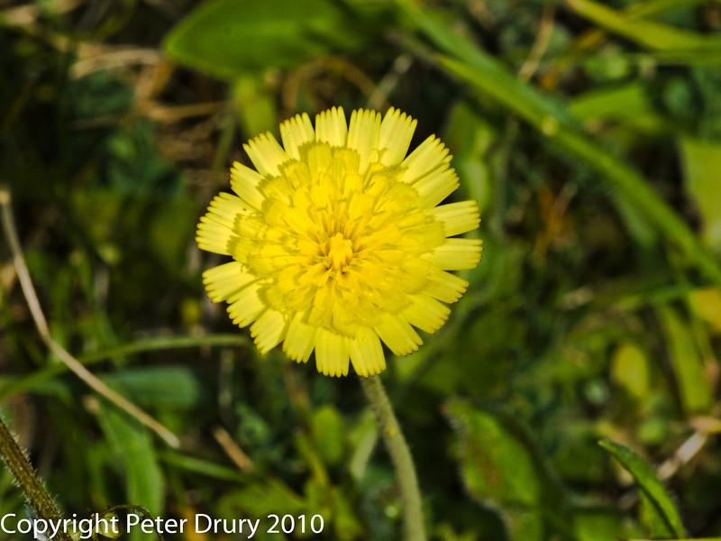Mouse-ear Hawkweed (Hieracium pilosella). Copyright Peter Drury 2010