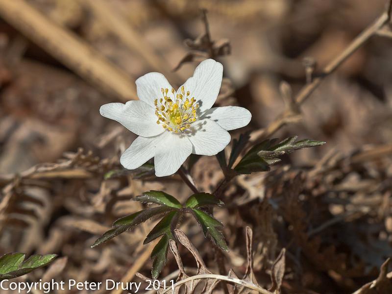 07 April 2011. Wood anemone in Creech Wood.  Copyright Peter Drury 2011
