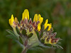 Kidney vetch (Anthyllis vulneraria). Copyright Peter Drury 2010<br /> This plant has always fascinated me. It starts off with a single stem and an inconspicuous group of brown buds. When it starts to flower, it is amazing. Full of rich colours and textures. The flowering head is also the food source of one of my favourite butterflies - The Little Blue.
