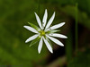 27 May 2011. Lesser Stitchwort (Stellaria graminea) at Creech Wood. Copyright Peter Drury 2011