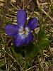 Sweet Violet (Viola odorata). Copyright Peter Drury 2010