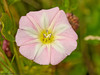 24 Jun 2011. Field Bindweed (Convolvulus arvensis) at the Chalk Quarry. Copyright Peter Drury 2011