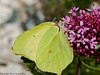 06 May 2011. Brimstone feeding on  Red Valerian (Centranthus ruber) in the Chalk Quarry. Copyright Peter Drury 2011