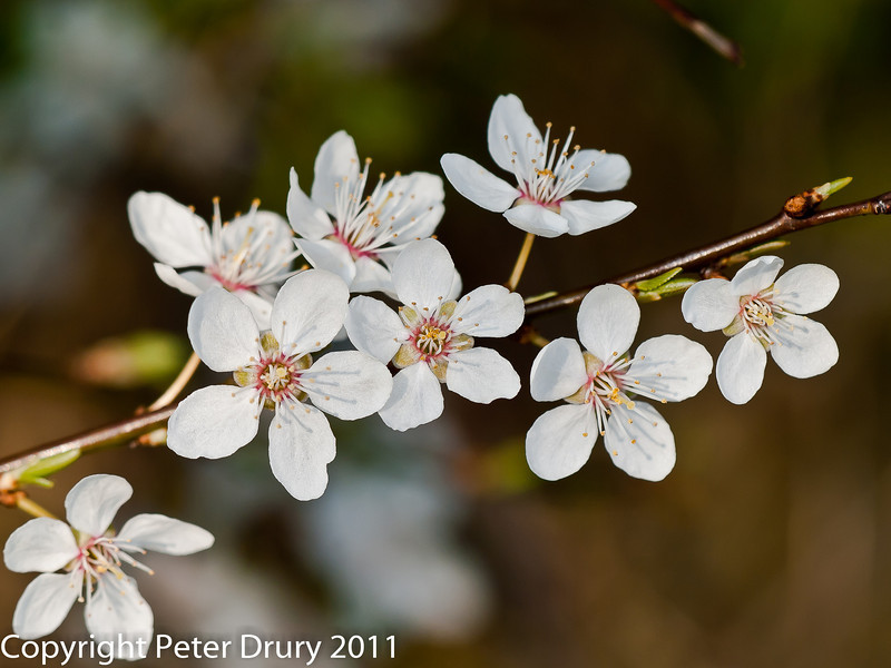 21 March 2011. Cherry plum - (Prunus cerasifera) Blossom.  Copyright Peter Drury 2011