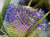 Teasel. Copyright Peter Drury 2010<br /> In various stages of flowering.