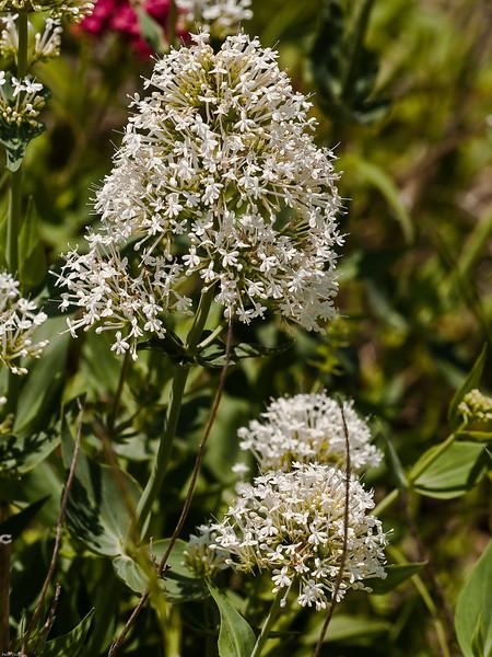 Red Valerian (Centranthus ruber albiflorus)<br /> White variety