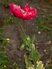 Opium Poppy (Papaver somniferum). Copyright 2009 Peter Drury