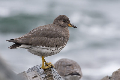 Surfbird - a species a see once or twice a year down in the Victoria area but was unable to find any this year was really happy to come across a large flock at Neck Point Park in Nanaimo
